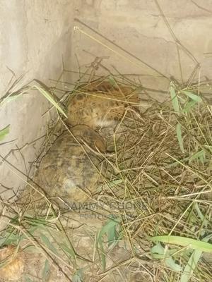 Pet Tortoise and Healthy | Reptiles for sale in Mombasa, Jomvu