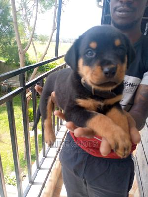 3-6 Month Male Purebred Rottweiler   Dogs & Puppies for sale in Kajiado, Kitengela