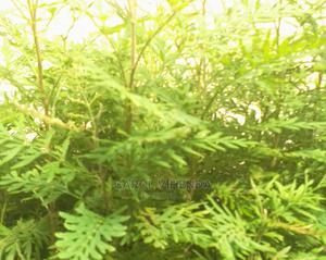 Gruvbellia Seedlings | Feeds, Supplements & Seeds for sale in Kakamega, Butsotso Central