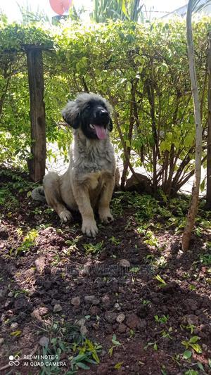 3-6 Month Female Purebred Caucasian Shepherd | Dogs & Puppies for sale in Kiambu, Ruiru