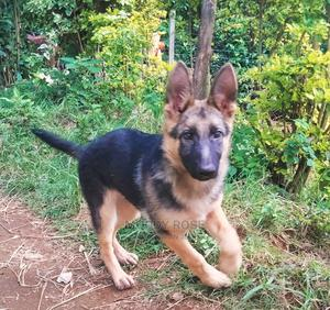3-6 Month Male Purebred German Shepherd | Dogs & Puppies for sale in Taita Taveta, Wundanyi/Mbale