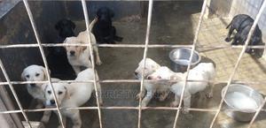 1-3 Month Female Purebred Labrador Retriever | Dogs & Puppies for sale in Nairobi, Nairobi Central