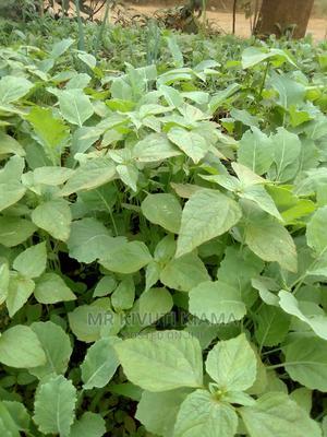 Sukuma Wiki Seedlings at Ksh 2 | Feeds, Supplements & Seeds for sale in Embu, Kithimu
