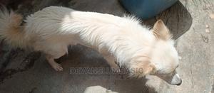 1+ Year Female Purebred Chihuahua | Dogs & Puppies for sale in Nairobi, Kawangware