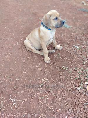1-3 Month Female Purebred Boerboel | Dogs & Puppies for sale in Kiambu, Ndenderu