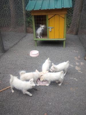 3-6 Month Female Purebred Japanese Spitz   Dogs & Puppies for sale in Nairobi, Karen