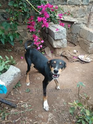 3-6 Month Female Mixed Breed German Shepherd | Dogs & Puppies for sale in Nairobi, Ruai