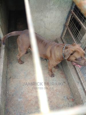 1+ Year Female Purebred Boerboel | Dogs & Puppies for sale in Kiambu, Ndenderu