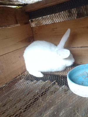 Mature Rabbit Breeder New Zealand White Giant Breeder   Livestock & Poultry for sale in Nairobi, Nairobi Central