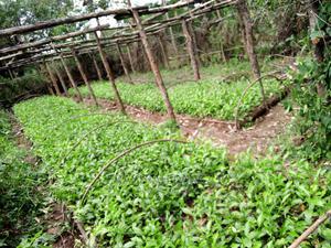 Clone 51 Tea Seedlings | Feeds, Supplements & Seeds for sale in Bomet, Kapletundo