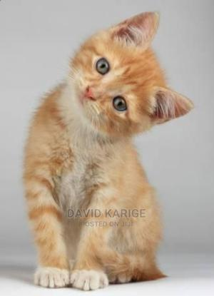 1-3 Month Male Mixed Breed American Shorthair | Cats & Kittens for sale in Nairobi, Dagoretti