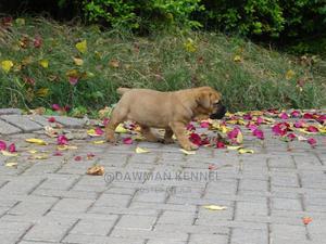 0-1 Month Male Purebred Boerboel | Dogs & Puppies for sale in Kiambu, Kiambu / Kiambu