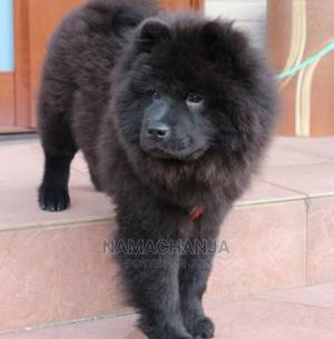 6-12 month Male Purebred Chow Chow | Dogs & Puppies for sale in Nairobi, Nairobi Central
