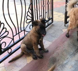 3-6 Month Female Purebred Belgian Malinois   Dogs & Puppies for sale in Laikipia, Nanyuki