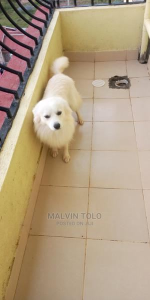 1+ Year Male Purebred Japanese Spitz | Dogs & Puppies for sale in Nairobi, Utawala