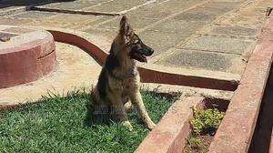 6-12 Month Female Purebred German Shepherd | Dogs & Puppies for sale in Uasin Gishu, Eldoret CBD