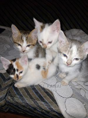 1-3 Month Female Mixed Breed American Shorthair | Cats & Kittens for sale in Nairobi, Embakasi
