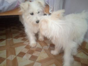 3-6 Month Female Mixed Breed Maltese | Dogs & Puppies for sale in Kakamega, Sheywe