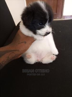 1-3 Month Female Mixed Breed Maltese | Dogs & Puppies for sale in Mombasa, Mombasa CBD