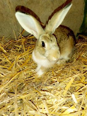 Rabbits on Sale. Flemish Giant, Newzealand White, California   Livestock & Poultry for sale in Nairobi, Embakasi