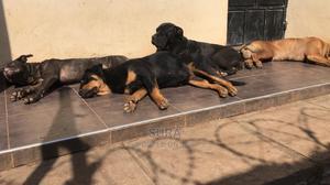 6-12 Month Female Purebred Boerboel   Dogs & Puppies for sale in Nairobi, Karen
