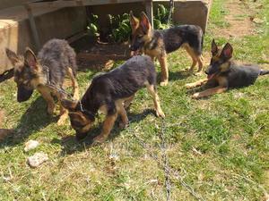 3-6 Month Male Purebred German Shepherd | Dogs & Puppies for sale in Kisumu, Kisumu West