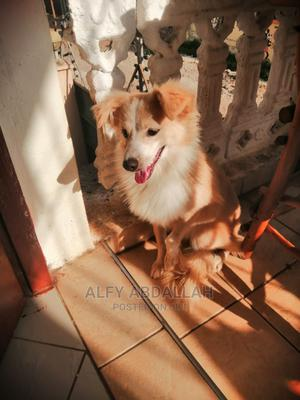 6-12 Month Male Purebred Japanese Spitz | Dogs & Puppies for sale in Mombasa, Bamburi
