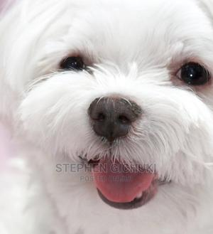 1-3 Month Male Purebred Maltese | Dogs & Puppies for sale in Nairobi, Makadara