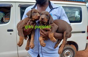 1-3 Month Male Purebred Doberman Pinscher | Dogs & Puppies for sale in Nairobi, Dagoretti