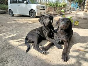 3-6 Month Male Purebred Labrador Retriever | Dogs & Puppies for sale in Machakos, Syokimau