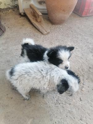 1-3 Month Female Mixed Breed Maltese | Dogs & Puppies for sale in Kajiado, Ngong