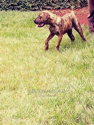 3-6 Month Male Purebred Boerboel   Dogs & Puppies for sale in Kiambu, Nyadhuna
