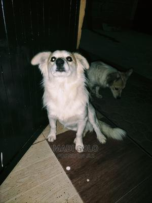 1+ Year Male Purebred Japanese Spitz | Dogs & Puppies for sale in Nairobi, Langata