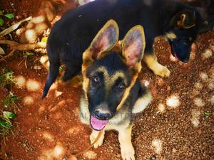 6-12 Month Male Purebred German Shepherd | Dogs & Puppies for sale in Nairobi, Nairobi Central