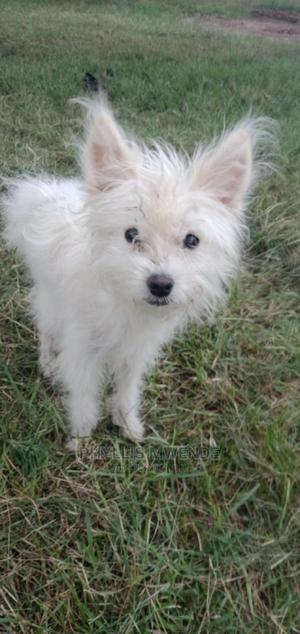 1+ year Female Purebred Maltese | Dogs & Puppies for sale in Machakos, Machakos Town