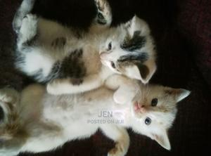 1-3 Month Male Mixed Breed American Shorthair | Cats & Kittens for sale in Kajiado, Ongata Rongai