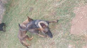 6-12 Month Female Purebred German Shepherd | Dogs & Puppies for sale in Kiambu, Kiambaa