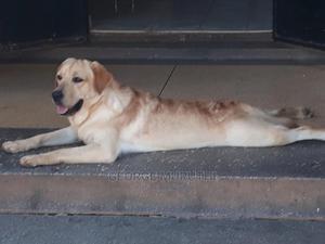 6-12 Month Female Purebred Labrador Retriever | Dogs & Puppies for sale in Kiambu, Thika