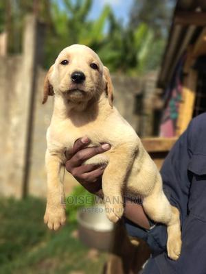 0-1 Month Male Purebred Labrador Retriever | Dogs & Puppies for sale in Kiambu, Kiambu / Kiambu