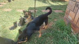 6-12 Month Male Purebred German Shepherd | Dogs & Puppies for sale in Kiambu, Thika