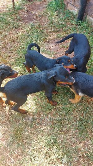 3-6 Month Female Mixed Breed Rottweiler   Dogs & Puppies for sale in Kiambu, Ruiru