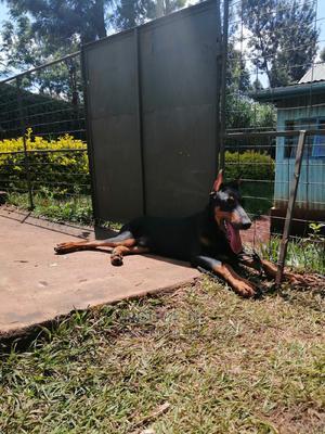 6-12 Month Male Purebred Doberman Pinscher | Dogs & Puppies for sale in Kiambu, Kabete