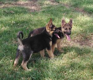 3-6 Month Male Purebred German Shepherd | Dogs & Puppies for sale in Nakuru, Nakuru Town East