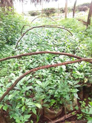 Tea Seedlings Available in Kericho Belgut.51 31-8 | Feeds, Supplements & Seeds for sale in Kericho, Kapsoit