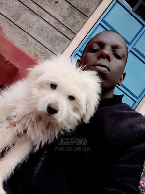 1-3 Month Male Purebred Maltese | Dogs & Puppies for sale in Kiambu, Kabete
