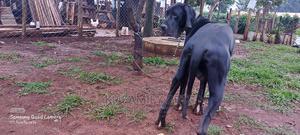 6-12 Month Male Purebred Great Dane | Dogs & Puppies for sale in Uasin Gishu, Eldoret CBD