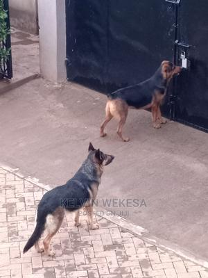 1+ Year Female Mixed Breed Rottweiler   Dogs & Puppies for sale in Uasin Gishu, Eldoret CBD