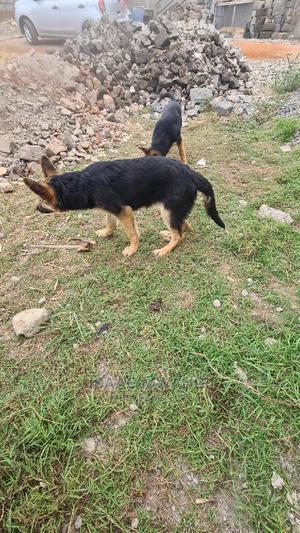3-6 Month Male Purebred German Shepherd | Dogs & Puppies for sale in Kiambu, Thika
