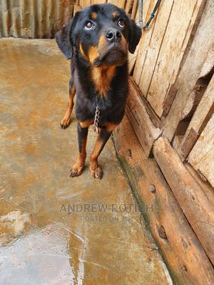 6-12 Month Male Purebred Rottweiler | Dogs & Puppies for sale in Trans-Nzoia, Kitale