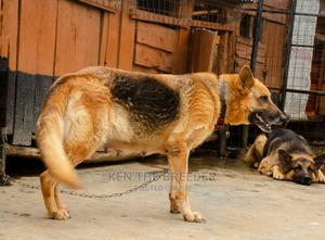1+ Year Female Purebred German Shepherd   Dogs & Puppies for sale in Uasin Gishu, Eldoret CBD